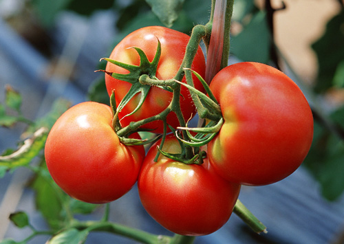 Natureトマト狩り